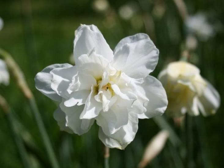 De enige narcis die lekker ruikt is de Narcissus poeticus