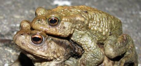 Minder diertjes overgezet bij paddentrek: Aantal padden en salamanders neemt af, wel meer kikkers gezien