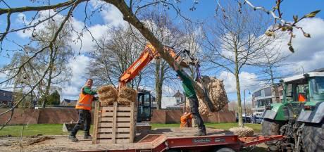 Gemeente Meierijstad verhuist bomen in Veghel: wat mag dat kosten? En hoe moeilijk is zo'n klus?