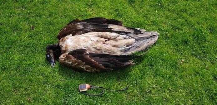De overleden gier met naast hem de gps-zender.