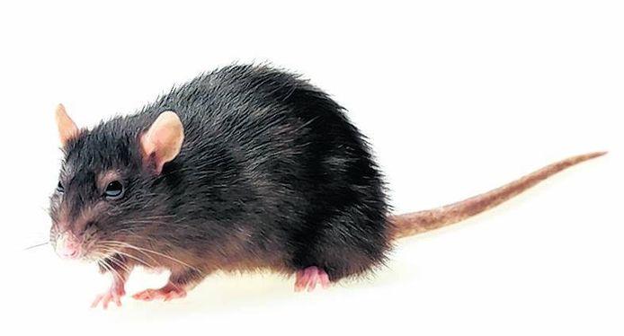 De zwarte rat.