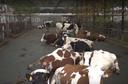 In Heukelom gaat de familie Van Esch een tuin voor haar koeien maken