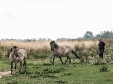 Door Waalstrandgasten 'verziekte' agressieve paarden moeten naar de slacht