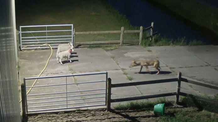 De wolvenaanval in Vlijmen. Acht schapen werden gegrepen.
