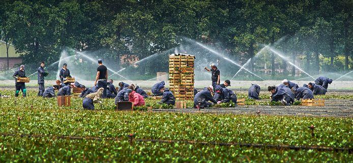 Landarbeiders bezig met het stekken van aardbeienplantjes bij van den Elzen aan de Kraanmeer in Erp.