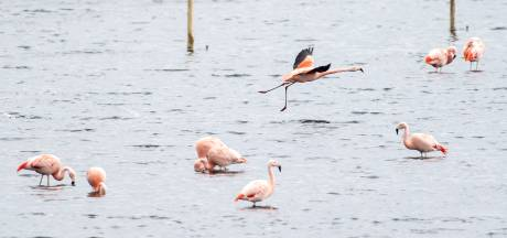 De flamingo's zijn terug in het Zwillbrocker Venn