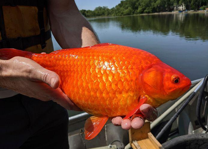 Een van de monsterachtige goudvissen, die opdook in een meer bij Burnsville, Minnesota.