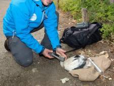 Ringen van 13 jonge ooievaars in hete Zwin is wel een stressmomentje voor de dieren