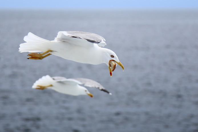 Deze zeemeeuw heeft duidelijk zijn buit binnen. Deze foto werd gemaakt in Griekenland tijdens een rondvaart, dus er was wel wat te bietsen.