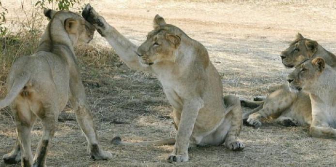 De leeuwen vallen volgens de Indiase Raad voor Medisch Onderzoek ten prooi aan het babesiosis-virus.