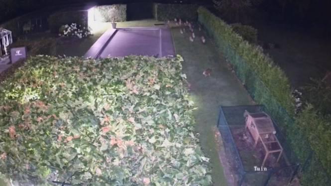 """Genkenaar (47) krijgt nachtelijk bezoekje van 20 everzwijnen in tuin: """"Gelukkig geen schade"""""""