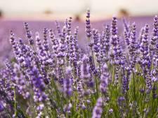 'Lavendel is een plant die vaak teleurstelt'