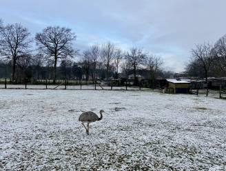 Klein laagje sneeuw in Zoersel