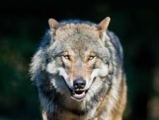 Wolf is in EU ook beschermd in bewoond gebied