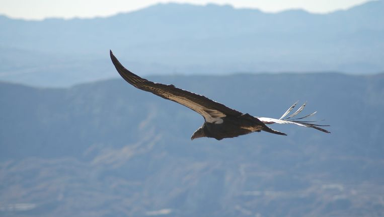 De Californische condor. Beeld