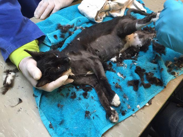 Een kat in Rotterdam werd geschoren om losgehaald te kunnen worden van een lijmplank.