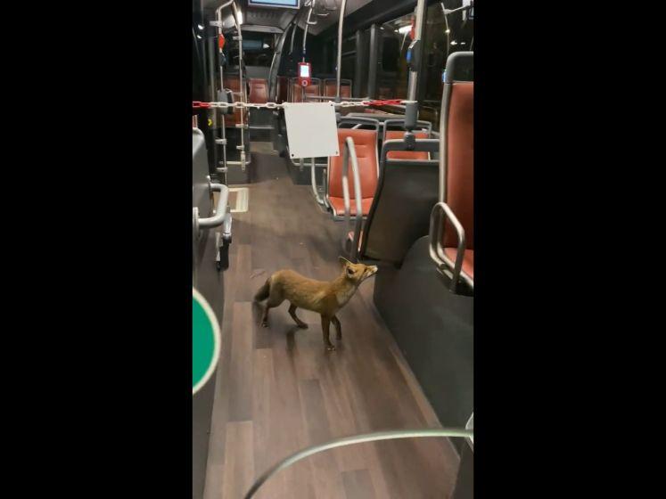 Un renard prend le bus pour se rendre à Forest National