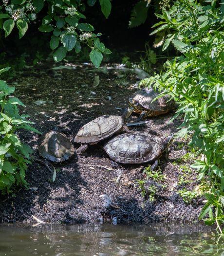 Een prachtig plaatje, die schildpadden in de Goese veste: 'Maar het blijft dierenmishandeling'