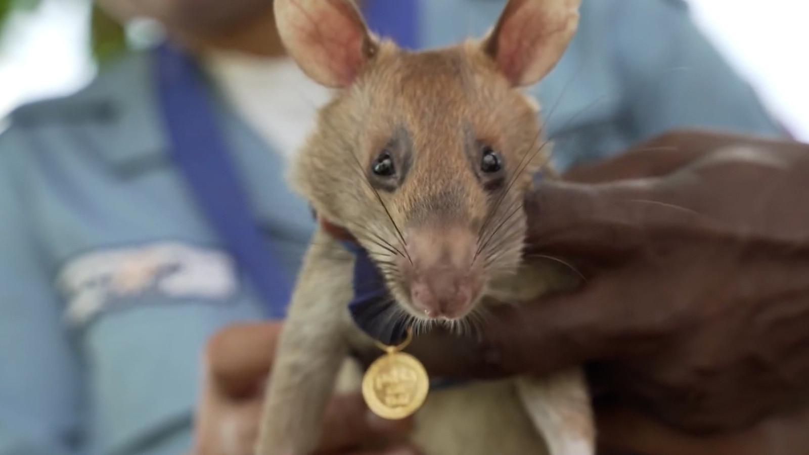 Magawa de rat
