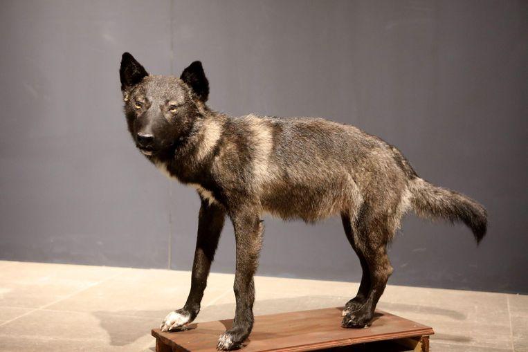 De wolfhond. Beeld Alamy Stock Photo