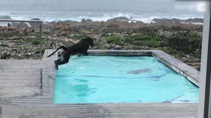 Bavianen nemen duikje in zwembad