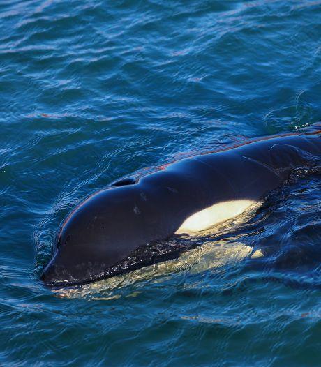 Het verdrietige verhaal van baby-orka Toa: hoe kan het dat zijn moeder niet wachtte op hem?