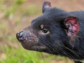 Eerste Tasmaanse duivels in het wild geboren op vasteland Australië