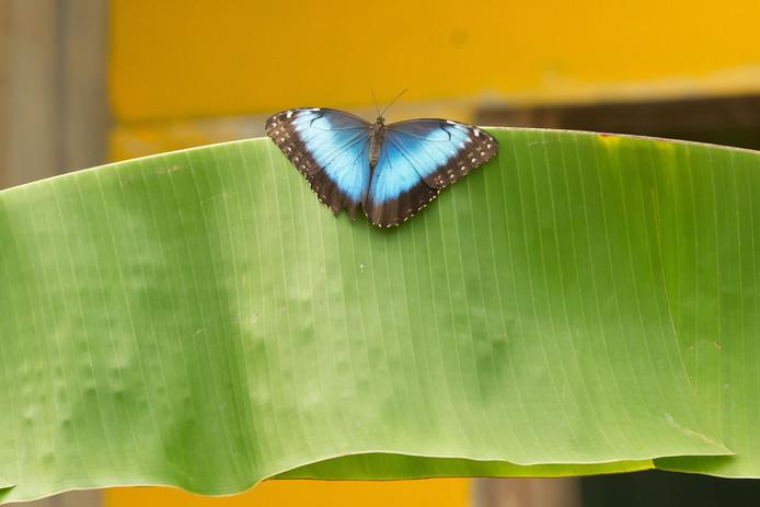 De blauwe morpho, die in de mangrovehal van Burgers' Zoo is te bewonderen, maar - voor wie mazzel heeft - wellicht ook nog in een van de Arnhemse parken.