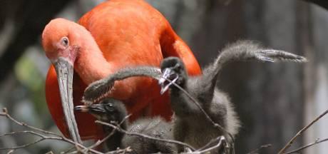 'Vrienden' helpen Blijdorp een handje: half miljoen voor nieuw verblijf ibissen en hyacintara's