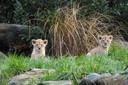 De leeuwenwelpjes in DierenPark Amersfoort moeten het nog even zonder publiek doen.