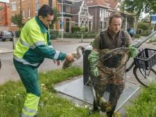Zwanengezin in Zwolle verhuist naar een schonere plek, nadat vader en vier jongen al overleden