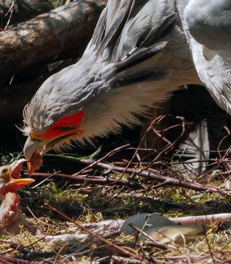 'Unieke geboorte': secretarisvogel uit ei gekropen in Beekse Bergen