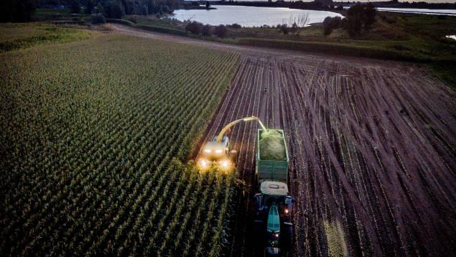 Maisoogst begonnen: Reijnders plukt vruchten van illegale actie tijdens hoogwater van juli