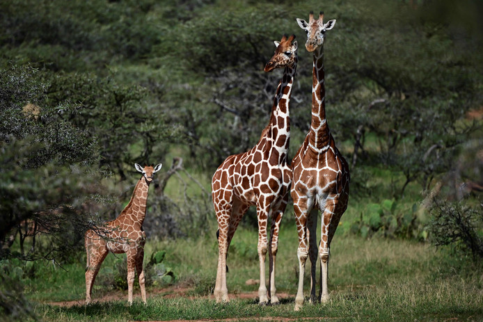 (De giraf valt ten prooi aan een 'vergeten uitsterven'. De populatie daalt schrikbarend