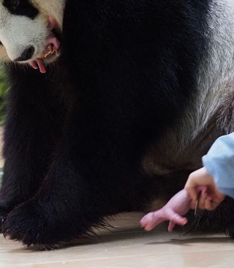 Aan Frankrijk uitgeleende reuzenpanda bevalt van tweeling
