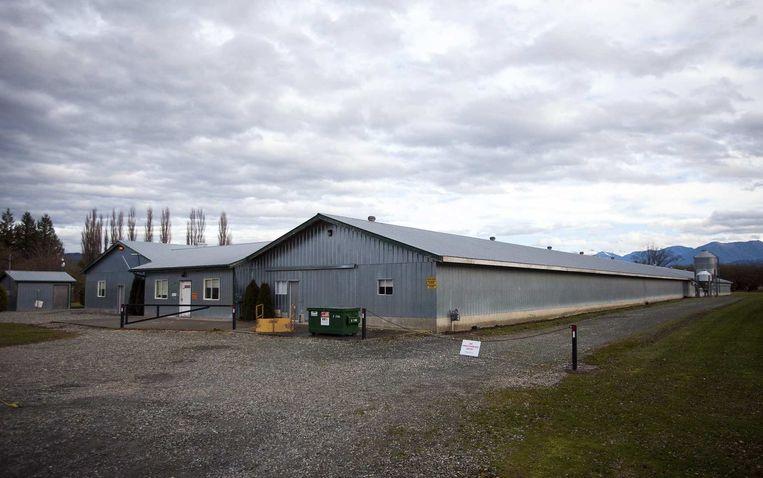 Een kippenboerderij in British Columbia, Canada, waar begin december mogelijk vogels met vogelgriep besmet waren. Beeld reuters
