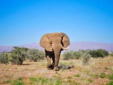 Woede en verdriet om doodschieten iconische olifant 'Voortrekker' door trofeejager