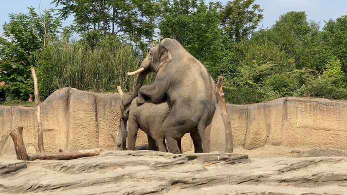 De Rotterdamse olifant Timber maakt furore in zijn nieuwe thuisbasis Wildlands Adventure Zoo in Emmen.