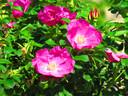 Voor de kleine tuin: Frau Hastrup.