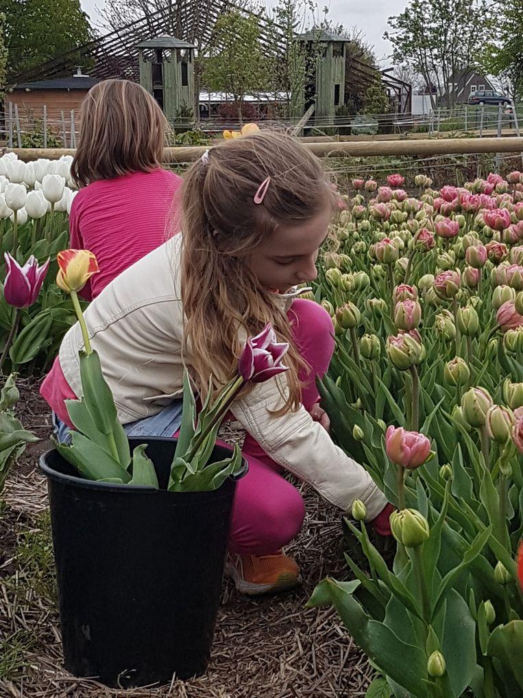 Dit weekend kunnen kinderen vanaf drie jaar tulpen plukken in de Pluktuin Amstelveen. Beeld