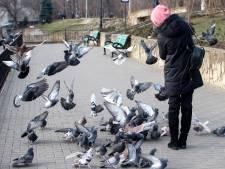 À Seraing, on va donner de la nourriture contraceptive aux pigeons pour lutter contre leur prolifération