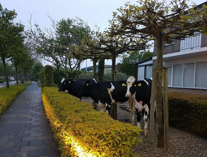 De politie rukte woensdagochtend uit voor drie ontsnapte koeien in Oostkapelle.