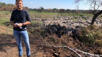 """350 schapen grazen op verbrand natuurgebied: """"Herstel van De Liereman zal zeker 5 jaar duren"""""""