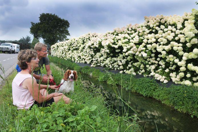 Bloemenmuur bij hortensia kwekerij Andriesia. Op de foto genieten wandelaars uit Kampen van de bloemenpracht.