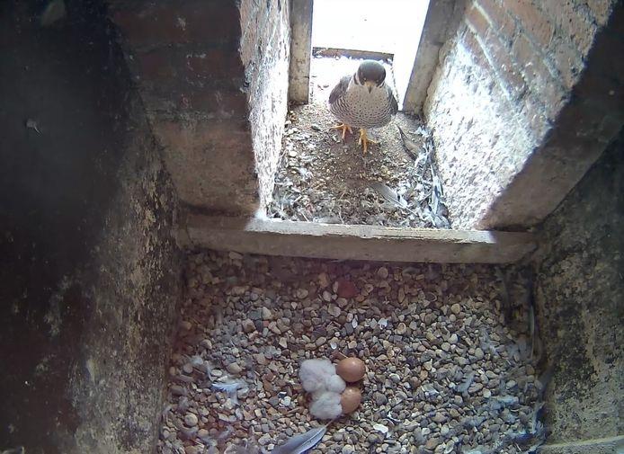 Twee kuikens in het nest van de slechtvalken in Wetteren.
