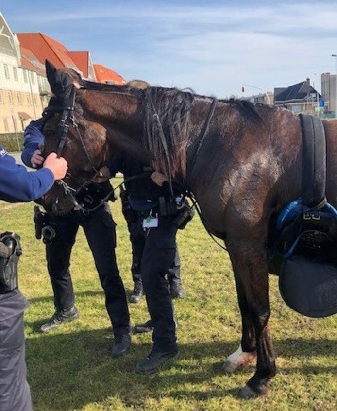 Het paard werd door de politie Bredene/De Haan gevangen. De verwondingen aan de achterste benen bleken evenwel te ernstig.