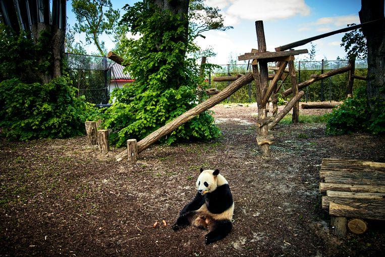 Een panda geniet van de stilte in Pairi Daiza, maar de lockdowns bezorgen directeurs van dierenparken kopzorgen. Beeld Thomas Nolf