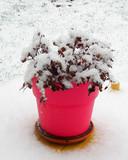 Nijmeegse potbloemen balen van sneeuw.