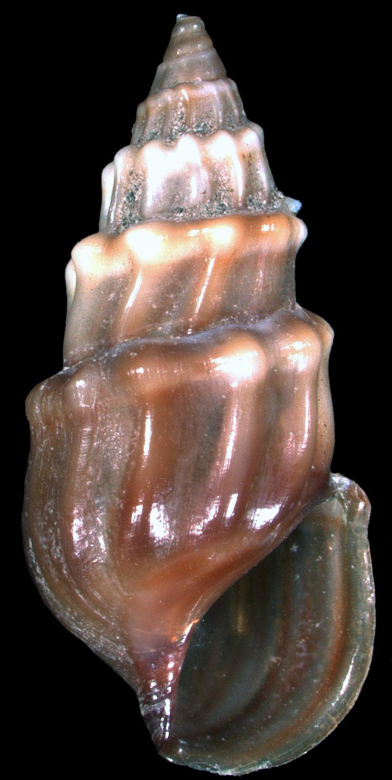 Microcolpia parreyssii, een zoetwaterslak uit een kleine warmwaterbron in Roemenië die waarschijnlijk is uitgestorven. Beeld Thomas A. Neubauer