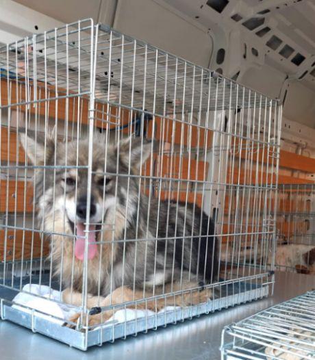 Meer dan vijftig verwaarloosde en zieke honden weggehaald bij fokker in Limburg